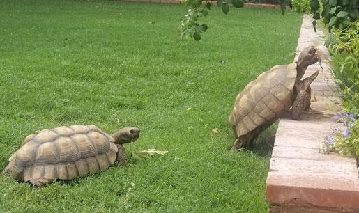 Two Pet Desert Tortoises In Realtor Kevin Wood Backyard